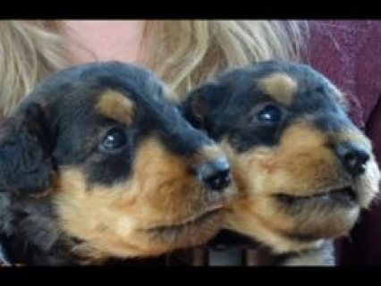 Quality Airedale Terrier Puppies.  Pulborough, West Sussex £950
