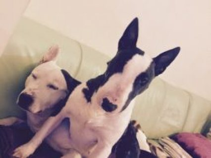 English Bull Terrier X American Bulldog Pups  Gainsborough, Linc