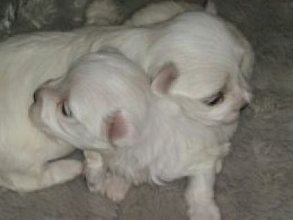 Kc Reg Gorgeous Maltese Male Puppies  Warrington, Cheshire £1,00