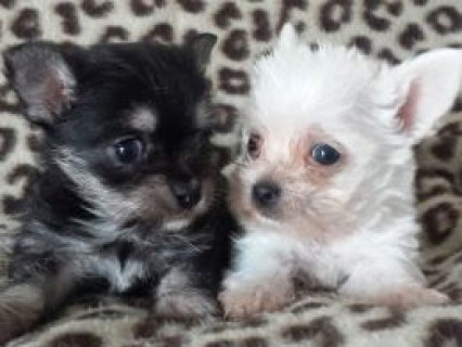 Designer Teacup Maltese/Chihuahua Puppies  2 Designer Teacup Mal