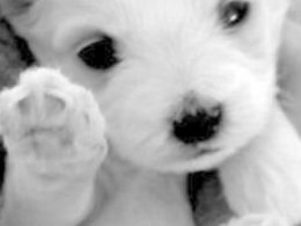 Amazing Maltese Babies***london***  Edgware, Middlesex £550 We h