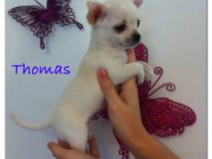Gorgeous Litter Of Kc Chihuahua Boys  Wirral, Merseyside £700 We