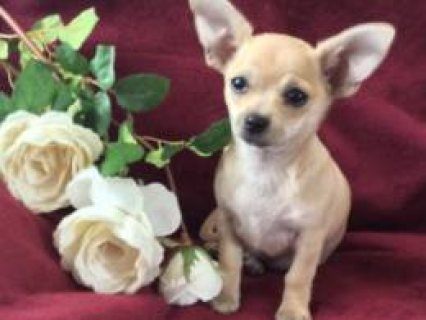 So Beautiful & Tiny Long Coat Chihuahua Baby Girl  Leeds, West Y