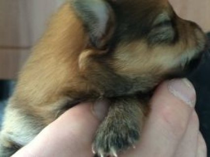 Pomeranian Pups Two Boys Left Ready In 10 Weeks  Banstead, Surre