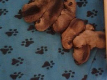 Cairn Terrier Puppies For Sale  Newtownabbey, County Antrim £400