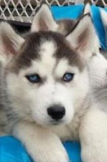 husky puppies for sale  ready to go now