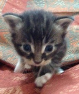 Maine Coons Male Kittens