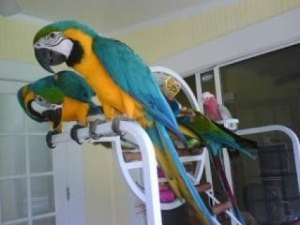 Tamed and Talking Macaw Parrots for sale.,./././/.