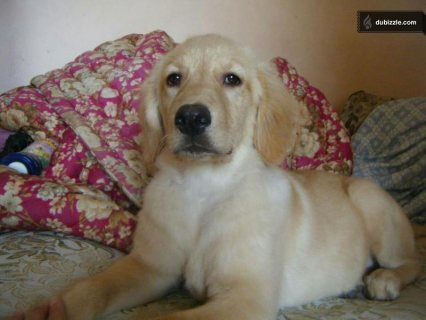 صور Golden Female Retriver- أنثي ريتريفرأصلي 2