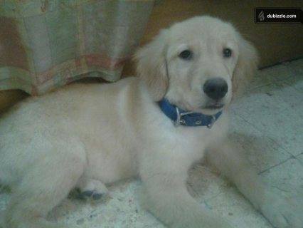 صور $Golden Female Retriver- أنثي ريتريفرأصلي 3