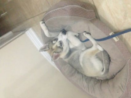 """Beautiful Male Husky Puppy for Sale**BLUE EYES*"""" for sale"""