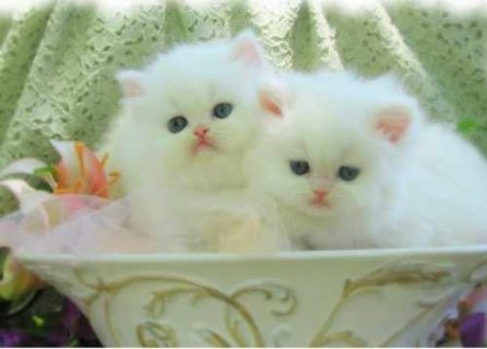 صور Cute Male And Female Persian Kittens For Good Rehoming	 1