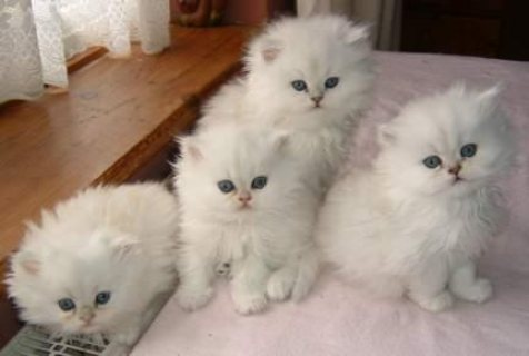 Adorable male and female Persian Kittens for Sale /../././././