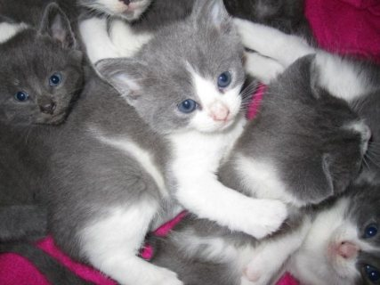 Male and female British shortharir kittens for adoption/./../,,.