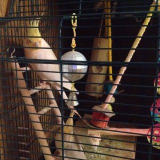 صور Two Cockatiel parrots+cage+lot of toys for a great low price 1