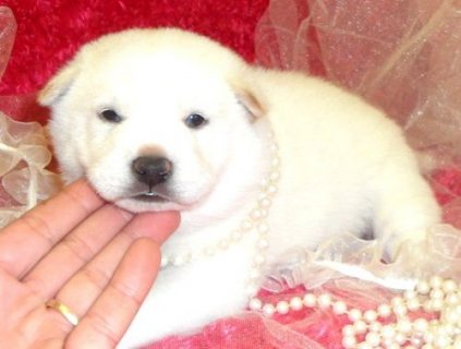 صور Shiba Inu puppies ready for sale 1