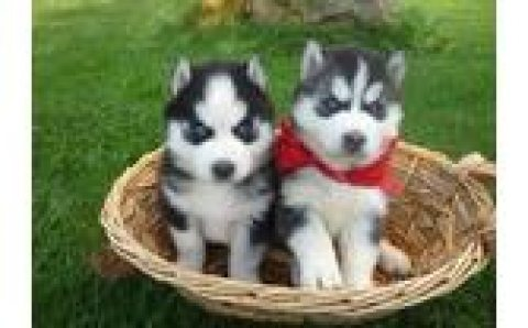 Husky Puppies for sale././/./