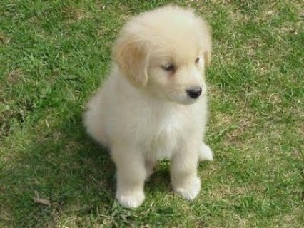 GOLDEN RETRIEVER PUPPIES FOR AFOPTION