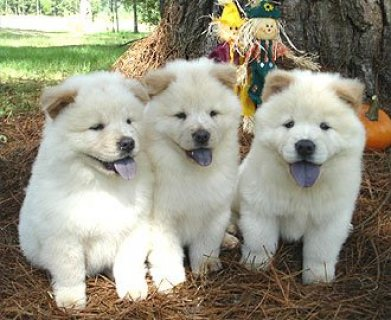 Adorable Chow chow puppies for sale.,,...,;/