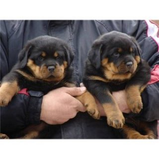 Marvelous Rottweiler for  Adoption
