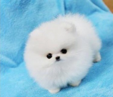 Adorable Pedigree Pomeranian Puppies for Sale