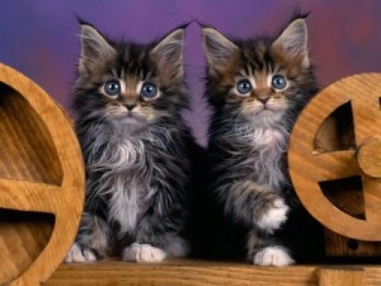 Pedigree Maine Coon kittens for sale