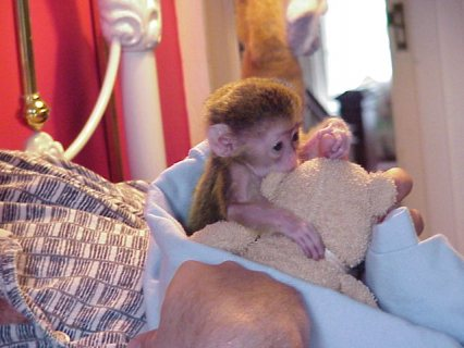 Well Trained Capuchin Monkeys   Small, cute and healthy Lovable