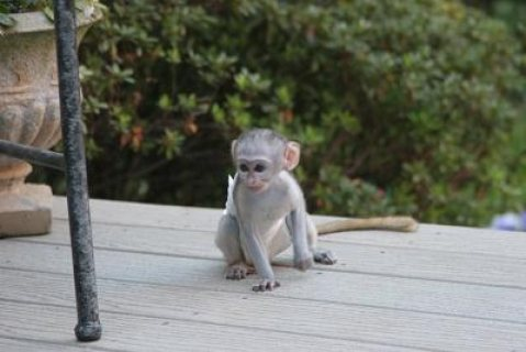Tamed Capuchin Monkeys   Can make a good and lovely members of