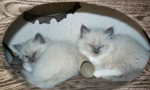 Purebred male and female Ragdoll Kittens for sale.