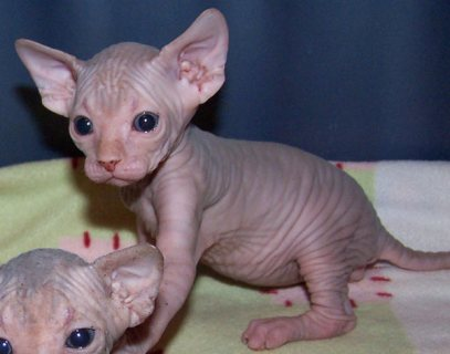 Lovely Sphynx Kittens For Sale..