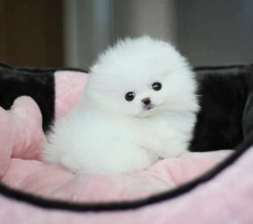 Cut male and female.Tiny Teacup Pomeranian for adoption..,.,