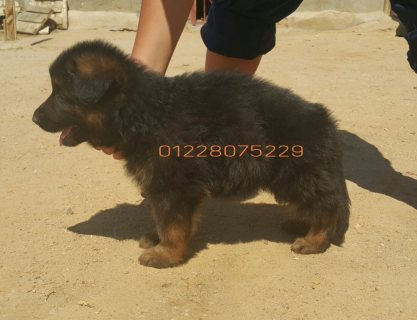 German shepherd pups LONGHAIR..