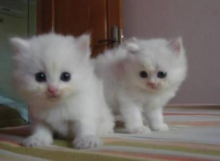 Pedigree Persian kittens