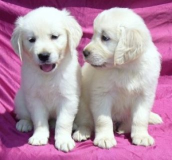 Male and Female Golden Retriever Puppies For Adoption