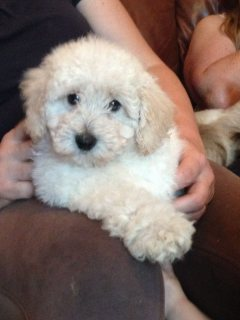 Purebred Poodle Puppies for adoption