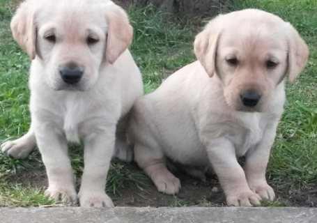 Stunning Chunky Golden Labradors for Adoption