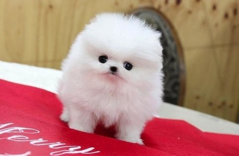 Nice Pomeranian puppies Available