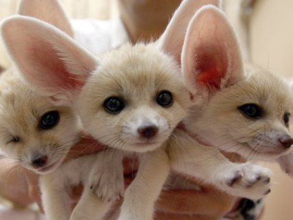 12 weeks old fennec foxes