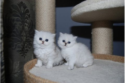 well trained persian kitten looking for sale/..////../
