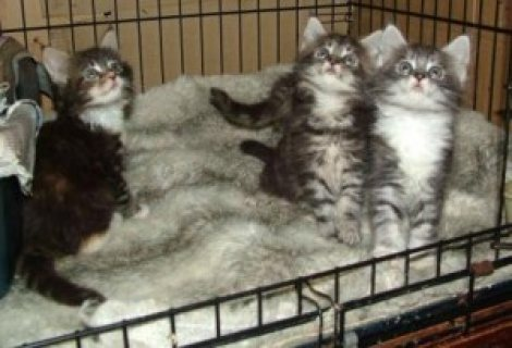 Cute male and female Maine Coon Kittens for sale /.././/.