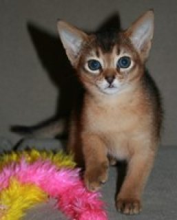 صور MALE AND FEMALE ABYSSINIAN KITTENS FOR SALE.CONTACT US BACK FOR  1