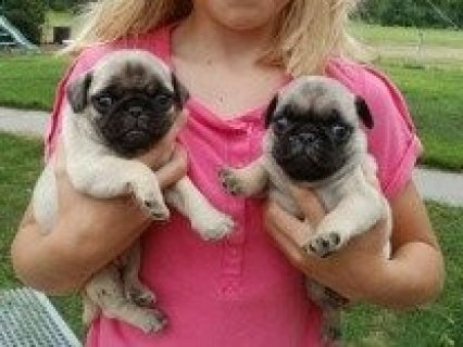 Sweet male and female Pug Puppies for Sale