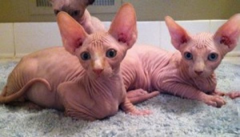 Canadian Sphynx  kittens adoption Contact (jasonblere9@>g>m>a>i>
