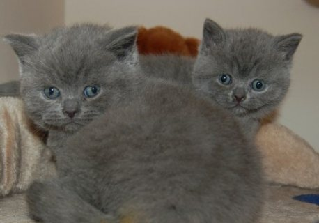 two British kittens ready to go