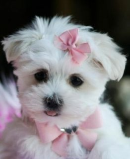 Tiny teacup Maltese puppies for sale
