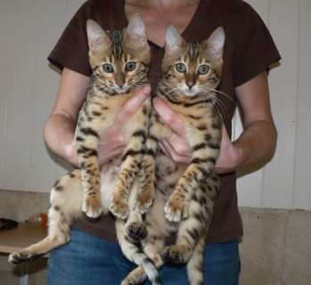 Beautiful males and females Bengal kitten for sale/../
