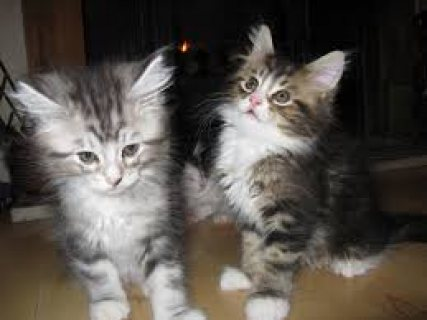 Lovely Maine Coon Kittens For Sale