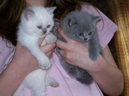 white and Grey male and female British Short Hair kittens for sa