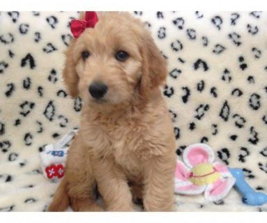Goldendoodle Puppies for sale.