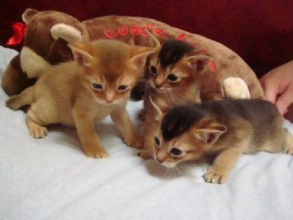 Beautiful Pure-breed Ruddy Abyssinian Kittens (Male And Female)